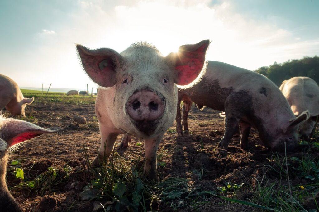 Koelemanden udfoerer reparation af kadaverkoelere / grisekoelere